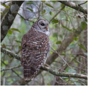 Barred Owl-1
