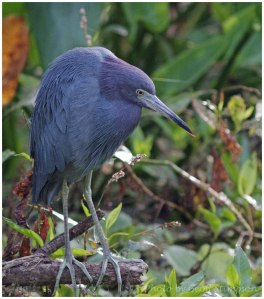 Little Blue Heron-1