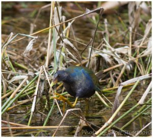 Purple Gallinule-1