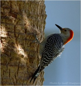 Red Bellied Woodpecker-1