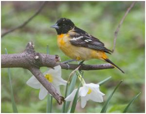 Baltimore Oriole-1-2