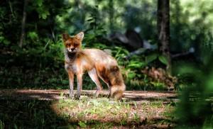 Fox1-RDS